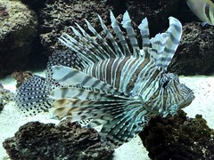 antwerp_5_187 (OurTravelPics.com) Tags: antwerp lionfish aquarium zoo