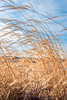 foxtail (severalsnakes) Tags: 365 ks2 m3528 missouri pentax saraspaedy countryroad dirtroad farm fence foxtail grass gravelroad manual manualfocus rural