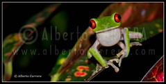 Alberto Carrera (AC ALBERTO CARRERA) Tags: albertocarrera frog redeyedtreefrog agalychniscallidryas green red eyes hylidae arboreal hylid amphibia anura amphibian toad animalia nature natural wild wildlife animal biology biologist fauna reserve tropicalforest rainforest tropical forest jungle wildland conservation naturereserve reseve environment habitat zoology naturalhistory biodiversity ecology ecosystem calm relax paradise color colour detail details primaryforest nationalpark corcovadonationalpark corcovado osa osaconservationarea acosa osapeninsula costarica centralamerica america