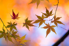 encountering (hitohira_) Tags: flower flowers nature bokeh leaves maple