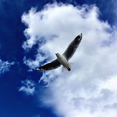 Seagull 01