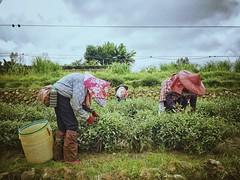 23/365 Tea picking (Wenchieh Yang) Tags: red blue woman cloud yellow sun sky green wow iphone iphone365 welovetaiwan 愛台灣 台灣 採茶 茶 鹿谷 南投