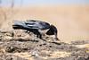 Pied Crow (tkfranzen) Tags: ngorongoroconservationarea ngorongorocrater piedcrow crow corvid corvusalbus africa tanzania africansafari africanbird birdphotography naturephotography wildlifephotography canonbirdphotography animalplanet tnclivenature safarilegacy