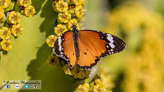 African Monarch (Danaus Chrysippus) (Carike's Photography) Tags: butterfly moth africanmonarch nymphalidae danaus monarch papillon danauschrysippus
