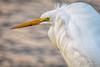 Great Egret (halladaybill) Tags: greategret sanjoaquinwildlifesanctuary irvine california unitedstates us orangecounty seaandsageaudubonsociety auduboncalifornia shorebird white yellow