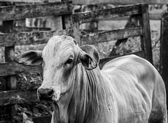 BULL (FabricioUZ) Tags: angry farm bull brazil blackandwhite