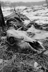 Cycles (Brandi Bonde) Tags: cow skull bones hide cowskull bovine pasture farm ice death decay bonecollector honoringremains ribs