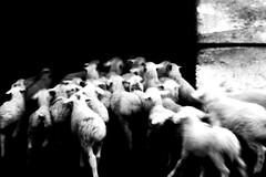 (khatia.nikabadze) Tags: blackandwhite motion animals sheeps black backround monochrome