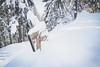 Half buried (johnwporter) Tags: atx116prodx tokinaaf1116mmf28 wideangle wideanglelens 廣角 廣角鏡 hiking snowshoe scramble cascades mountains nationalforest okanoganwenatcheenationalforest nasonridge nasoncreek rockmountain pnw upperleftusa northwestisbest 徒步 雪鞋行 爬行 喀斯喀特山脈 山 國家森林 奧卡諾根韋納奇國家森林 納森脊 納森溪 石山 太平洋西北部 美國左上角 西北部最好