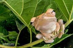 Four-lined tree frog (Polypedates leucomystax) - DSC_9832 (nickybay) Tags: macro singapore jalansamkongsi polypedates leucomystax rhacophoridae fisheye cctv wideangle