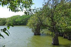 Mangrove au Nicaragua (Voyages Lambert) Tags: wildernessarea extremeterrain mangrovetree scenics tropicalclimate nature nicaragua centralamerica uncultivated tree island swamp marsh forest woodland landscape lake flood water omotepe