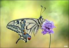 Acariciada por la brisa (- JAM -) Tags: naturaleza flower macro nature insect nikon flor explore jam mariposas d800 insecto macrofotografia explored lepidopteros juanadradas
