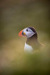 Puffin (elliot.hook) Tags: uk sea birds wales wildlife atlantic puffin british pembrokeshire arctica fratercula skomer