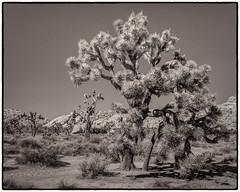 Joshua Tree (SdosRemedios) Tags: california blackwhite unitedstates desert joshuatree highdynamicrange twentyninepalms joshuatreenationalpark sdosremedios size4x5 stevendosremedios