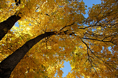 Colorado Golden Autumn I (Michael Kirsh) Tags: blue autumn sky sun tree fall colors leaves sunshine yellow spectacular golden colorado colorful branches deep peak denver foliage hues bark trunk leafy melange autumnal overhanging
