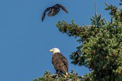 Bald Eagle (Juan Ga Rodriguez) Tags: ca canada britishcolumbia westvancouver