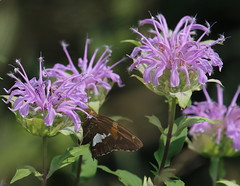 Wild Bergamot or Bee Balm (John Pohl2011) Tags: plant canon butterfly john insect lepidoptera 100400mm pohl t4i 100400mmlens canont4i