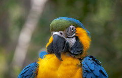 Blue & Yellow Macaw (Pat Durkin OC) Tags: parrot macaw