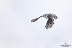 Chouette Épervière !! (Philou73couz) Tags: chouetteépervière northernhawkowl snow chouette hiver monregardsurlanature nature neige owl philippedebruyne wildlife winter