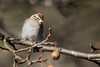 Chipping Sparrow (J.B. Churchill) Tags: birds chsp chippingsparrow maryland patroseshouse places sparrowstowhees stmarys taxonomy callaway unitedstates us