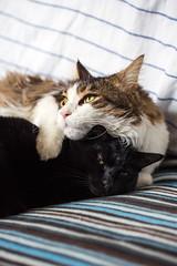 Relax...more or less... (Matteo Melchior) Tags: cat cats gatto gatti animali animals pet pets friend