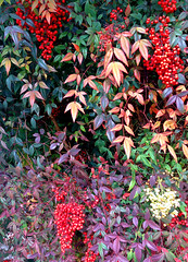 My neighborhood in Albuquerque with iPhone.  Heavenly Bamboo (Nandina domestica). (cbrozek21) Tags: berries leaves colorfulleaves garden color plant fruit heavenlybamboo nandinadomestica
