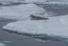 Bearded seal (Erignathus barbatus), sea ice North of Svalbard (GRIDArendal) Tags: seal svalbard environment climate change ecosystems