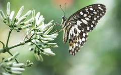 lime butterfly (alain01789) Tags: papillon butterfly exotic nature wildlife insect wings bokeh macro animal lepidoptere papilio dof colors velvia