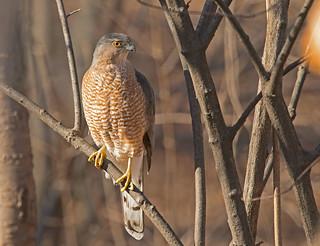 Cooper's hawk: Accipiter cooperii (Explored)