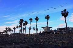 Soaring (LifebytheShot) Tags: lifeguardtower house homes home condominiums condominium oceanrock sand ocean beach rocks palmtrees palmtree fly birds bird californiabrownpelicans pelicans pelican