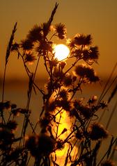 Untitled (Wouter de Bruijn) Tags: fujifilm xt1 fujinonxf90mmf2rlmwr sunrise dawn morning plant flower flowers nature bokeh depthoffield sun gold