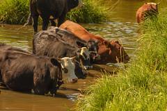 Cattle Cooling Off (ap0013) Tags: northdakota north dakota nd washburn unitedstates cattle cow lake rural agriculture farm farming