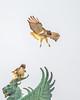 T4 and Mom (wn_j) Tags: birds birding birdsofprey birdsinflight nature naturephotography wildlife wildanimals wildlifephotography franklinhawks franklinhawk redtailhawk raptors raptor