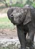 Baby Elephant after a Mud Bath (marccrowther) Tags: nikon d7100 nikond7100 tamron 150600mm tamron150600 tamron150600mmf563 tamronsp150600mmf563divcusd kruger krugernationalpark southafrica mpumalanga wildlife wild safari elephant ellies elephants baby babyelephant