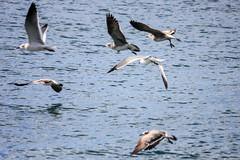 IMG_0356 (DaveGifford) Tags: mexico islamujeres birds seagull casabonita quintanaroo