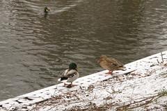 Koud weertje...jaa...en sneeuw verwacht voor vannacht Explore 20170112 (Olga and Peter) Tags: eenden ducks fimg15056