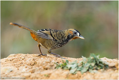 Rufous Chinned Laughing Thrush (Aravind Venkatraman) Tags: 2016 av aravind aravindvenkatraman bird birdsofindia canon canon1dmarkiv canon500mmf4 chennaibirdphotographer himalayanbirds indianbirds wildlife wildlifephotographer rufous chinned laughing thrush rufouschinnedlaughingthrush garrulax rufogularis garrulaxrufogularis ianthocinclarufogularis