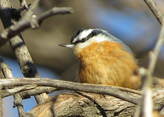 Red-breasted Nuthatch 2 (Kelly Preheim) Tags: redbreasted nuthatch