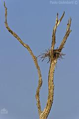 nido di Cormorani, Cormorants nest (paolo.gislimberti) Tags: alberisecchi deadtrees nests nidi