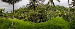 Rice terraces vs. jungle (Jhaví) Tags: aire libre green verde naturaleza nature asia arroz terrazas rice terraces jungla jungle bali arrozales indonesia