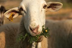 After the rains (H&T PhotoWalks) Tags: sheep portrait animal mojon puertodemazarrón bahiademazarrón murcia spain canoneos400d sigma18250 tan allfreepicturesjuly2017challenge x18
