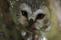 Petite (slsjourneys) Tags: northernsawwhetowl owl sawwhet