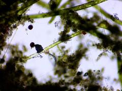 Hair_Algae_Above_Pump2-0012 (jason2459) Tags: algae gha microscope photomicrography bacteria ciliate