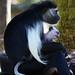 Angola Colobus Monkey with Baby