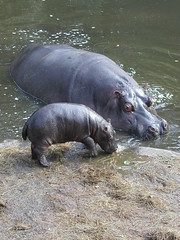 Hippo_16 (tim ellis) Tags: animal big little hippo hippopotamus calf hippopotamusamphibius msh0407 mshbest mshbest1 msh04071 commonhippopotamus taxonomy:binomial=hippopotamusamphibius largehippo