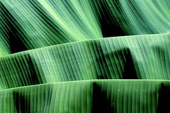 Sombras e Texturas (joaobambu) Tags: shadow plant abstract color verde green planta texture textura nature topf25 leaves lines catchycolors leaf interestingness interesting flora topv555 topv333 colorful shadows background topv1111 natureza sombra vert banana line textures bananas fabric forms topv777 form formas topv4444 sombras topf15 gruen texturas pro1 imagekind