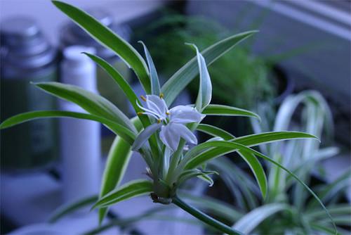 Spider Plant Flowering
