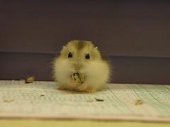 My treasure (EricFlickr) Tags: pet cute animal treasure taiwan hamster