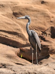 Humblot's heron (Ardea humbloti) (danielguip) Tags: bird interestingness wildlife ardea top10 madagascar interesting1 humblotsheron ardeahumbloti taxonomy:binomial=ardeahumbloti