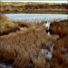 WATERBUSH (ESOX LUCIUS) Tags: me ilovenature taco naturereservedekwadehoek saltlovingflora duinengoereeenkwadehoek